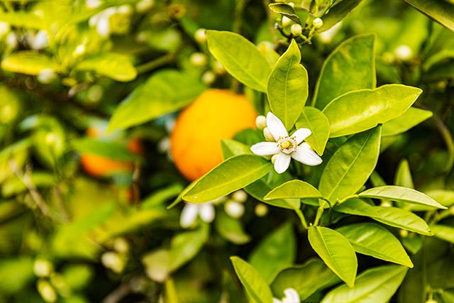 Flor de azahar primavera